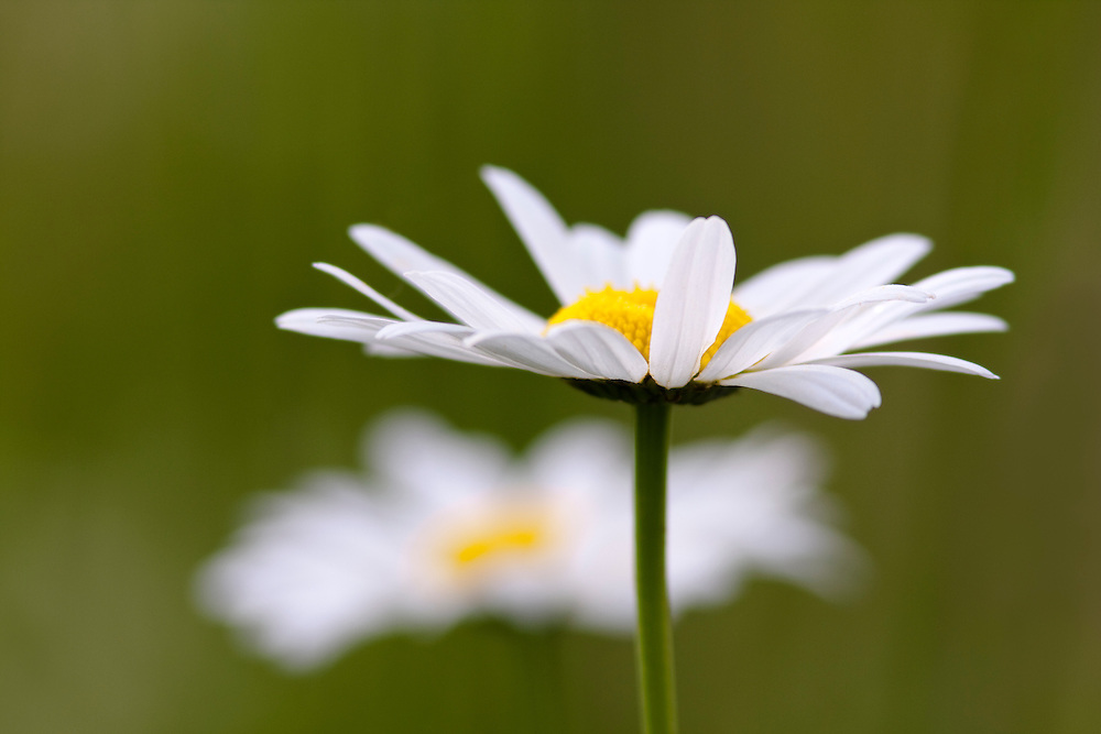 Daisy flowers against green background.