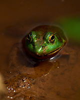 Kermit the Bull Frog. Image taken with a Fuji X-T2 camera and 100-400 mm OIS telephoto zoom lens