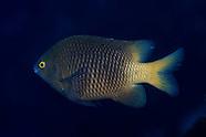 Stegastes fasciolatus (Pacific Gregory)