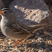 White-crowned Sparrow, Bosque del Apache NWR, New Mexico.