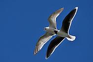 Little gull, Larus/Hydrocoloeus minutus, Nemunas River Delta, Lithuania