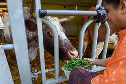 © Licensed to London News Pictures. 23/08/2019. LONDON, UK. A devotee feeds a sacred cow as thousands celebrate the birth of Lord Krishna at the Janmashtami festival at the Bhaktivedanta Manor Hare Krishna Temple in Watford, Hertfordshire.  The manor was donated to the Hare Krishna movement by ex Beatle George Harrison and annually hosts the biggest Janmashtami festival outside of India.  Photo credit: Stephen Chung/LNP