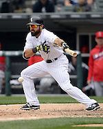 CHICAGO - APRIL 20:  Adam Eaton #1 of the Chicago White Sox bunts against the Los Angeles Angels of Anaheim on April 20, 2016 at U.S. Cellular Field in Chicago, Illinois.  The White Sox defeated the Angels 2-1.  (Photo by Ron Vesely)   Subject: Adam Eaton