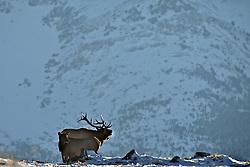 Bugling Bull Elk, Canadian Rockies, Waterton Lakes National Park