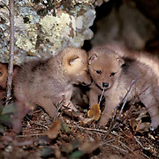 Coyote, (Canus latrans) Pack of pups at opening of den. Spring. Montana. Captive Animal.