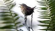 A winter wren is framed by sword ferns. The wren is known for its full-throated, complex song and this male is letting other birds know he's staked out this territory in Discovery Park.<br /> <br /> Alan Berner / The Seattle Times