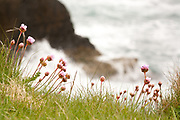 Thrift flowers above the crashing waves at Tilly Whim Caves  on the Isle of Purbeck, Dorset, UK