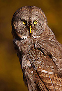 Artistic photograph by Mike R. Jackson of an Great Gray Owl in Yellowstone National Park in the fall. Artistic effects applied.