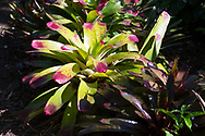 A  Bromeliad with green leaves with pink tips in the garden at the St. Rose Nursery, La Mode, St. George's, Grenada, West Indies, Caribbean