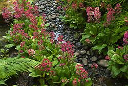 North America, United States, Washington, Bellevue, Bellevue Botanical Garden, creek in Japanese Garden