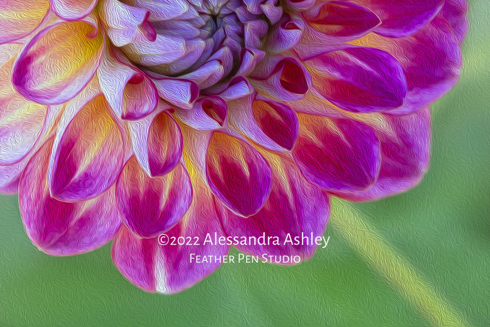 Pink and yellow dahlia growing in garden setting. Processed with oil paint effects.
