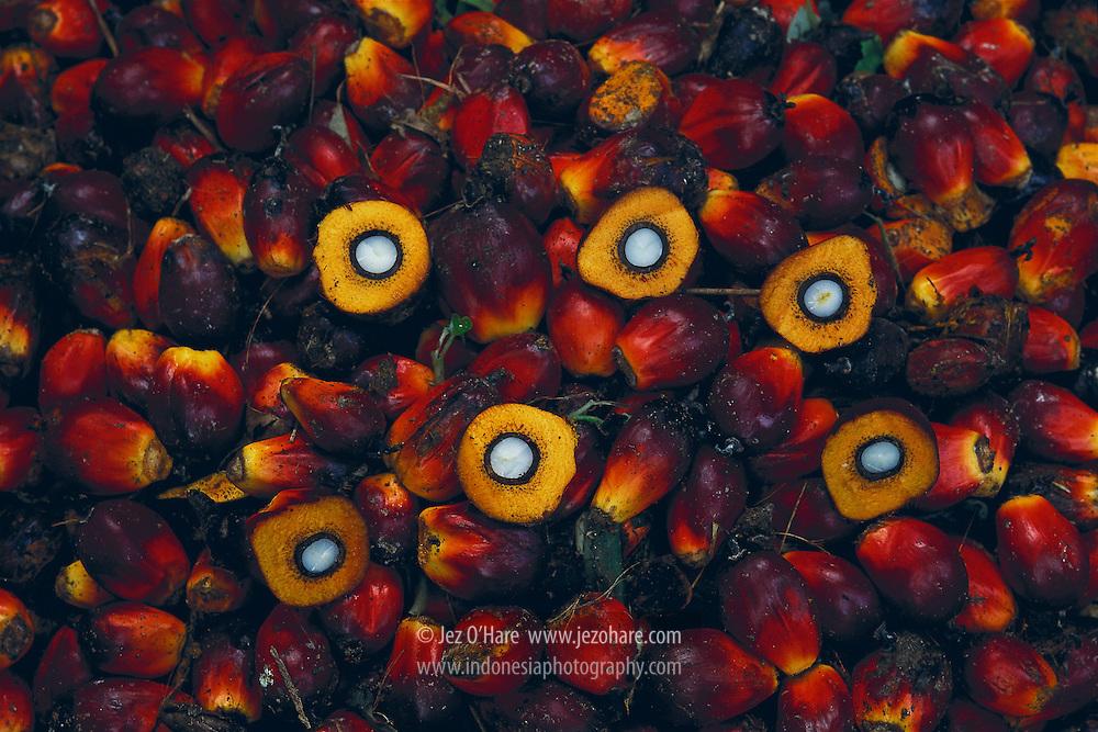 Oil Palm Fruit, Sumatra, Indonesia.