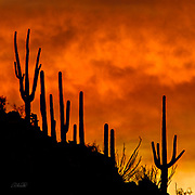The last light of an Arizona desert sunset silhouettes the Saguaro cactus (Carnegiea gigantea) growing along a distant ridge.  The Saguaro cactus can grow 50-feet-tall, is composed of 85% water, and can weigh over 8 tons.  They are the largest member of the cactus family in the United States. Their skin is smooth and waxy with stout, 2-inch spines clustered on their ribs. The outer pulp can expand like an accordion when water is absorbed, increasing the diameter of the stem and raising its weight by up to a ton.  <br /> <br /> The Saguaro generally takes 47 to 67 years to attain a height of 6 feet, and can live for 150 – 200 years.  During that lifetime, a single cactus will produce 40 million seeds; however, in its harsh native environment, only one of these seeds will survive to replace the parent plant.  Indeed, young Saguaro's must start life under a tree or shrub to prevent them from desiccating.