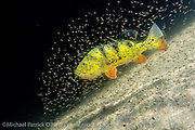 A female Peacock Bass, Cichla sp., guards her brood in a Miami, FL freshwater lake. This tropical freshwater species, also known as the Peacock Cichlid, was intentionally introduced in Florida in the mid 1980s from South America to control the Tilapia population, another invasive species. Throughout its native range (and in Florida) it's a prized sportfish.