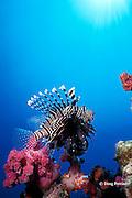 lionfish or turkeyfish, Pterois miles or Pterois volitans, Richilieu Rock, Surin Islands, Thailand, ( Andaman Sea, Indian Ocean )