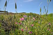 Israel, Echium angustifolium, Hispid Viper's-bugloss