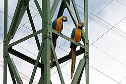 Two Blue-and-yellow macaw (Ara ararauna) perching on scaffold, South Africa
