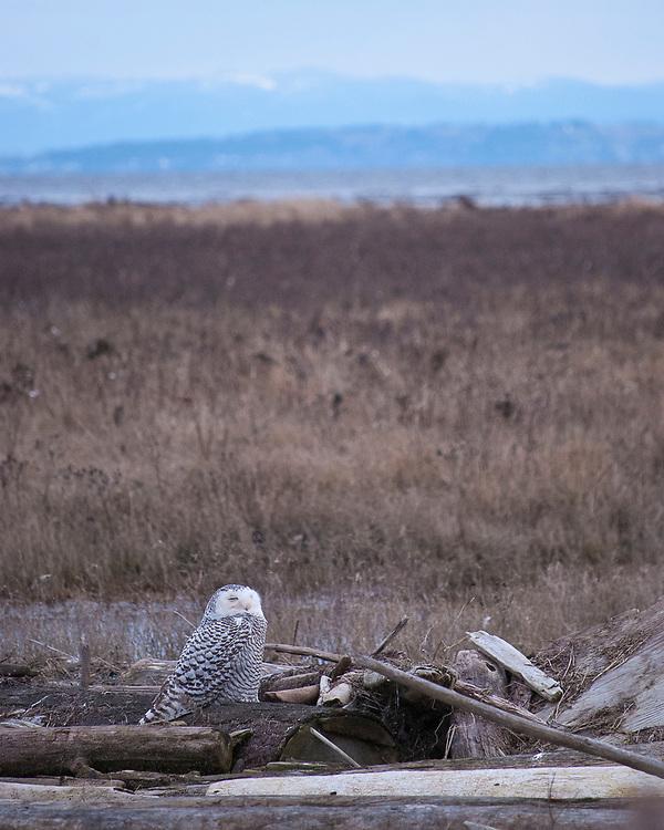 Snowy Owl. Boundary bay, Canada. My very first Snowy Owl.