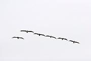 Flock of pelicans cruising over Cypress Point, near Pebble Beach, California.