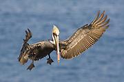 Brown Pelican in full breeding colors landing.(Pelecanus occidentalis).La Jolla, California