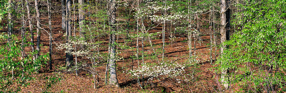 Spring comes and with it dogwood blossoms, in The Trace, Land Between The Lakes, Kentucky.