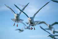 Seagulls flying in close flock straight toward observer, Alaska, © David A. Ponton