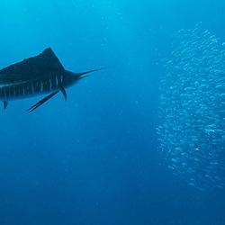 sailfish, espadon voilier, sardine run, Istiophorus albicans