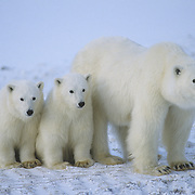 Polar Bear (Ursus maritimus) portrait of mother and cubs. Hudson Bay, Canada