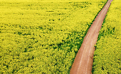 "South Africa - Cape Town - 1 September 2020 - Canola fields near Durbanville. According to an article by Wandile Sihlobo for Agricultural Economics Today ""...the good rains that the Western Cape received over the past couple of months will have a meaningful contribution to South Africa's 2020/21 winter crop production. The data released by the Crop Estimates Committee on August 27 shows that South Africa's 2020/21 wheat, barley and canola production could increase by 28% y/y, 46% y/y and 29%, respectively, to 1.96 million tonnes, 505 215 tonnes and 122 820 tonnes. The aforementioned wheat harvest will be the largest in a decade, while barley and canola harvests are the largest on record Picture: Henk Kruger/African News Agency(ANA)"