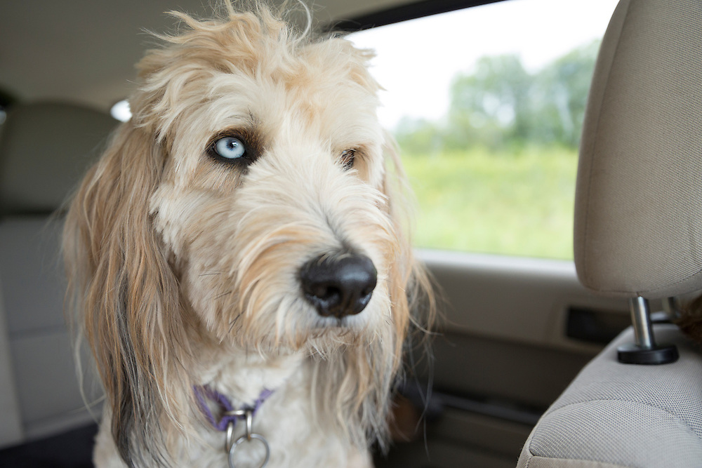Headshot of a fluffy dog with two different colored eyes in the back seat of a car, not looking at the acmera