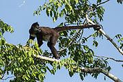 A Geoffroy's spider monkey (Ateles geoffroyi) sounds a warning. Tikal, Guatemala