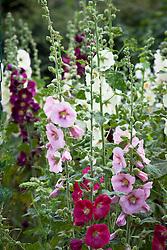 Mixed hollyhocks in the cutting garden. Alcea rosea syn. Althaea rosea.