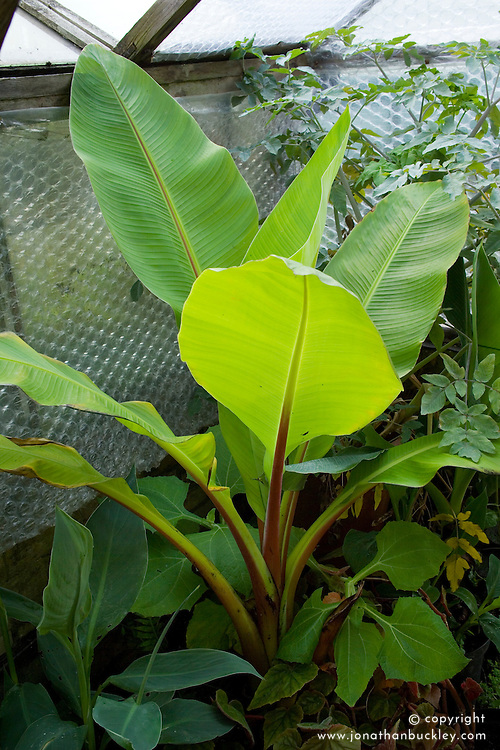 Protecting tender banana plant. Ensete ventricosum over-wintering in the greenhouse lined with bubble wrap at Great Dixter