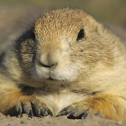 Black-Tailed Prairie Dog (Cynomys ludovicians) adult in Montana.