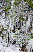 Icicles hang from on evergreen needles in Mount Baker Wilderness, Washington, USA.