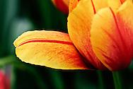 Tulip 'Flamboyante' Keukenhof Spring Tulip Gardens, Lisse, The Netherlands.
