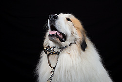 © Licensed to London News Pictures. 11/03/2016. Birmingham, UK. A Pyrenean Mountain Dog named Henry at Crufts 2016 held at the NEC in Birmingham, West Midlands, UK. The world's largest dog show, Crufts is this year celebrating it's 125th anniversary. The annual event is organised and hosted by the Kennel Club and has been running since 1891. Photo credit : Ian Hinchliffe/LNP