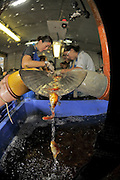 Israel, Coastal Plains, Kibbutz Maagan Michael, Vaccinating comet goldfish in the Fishery