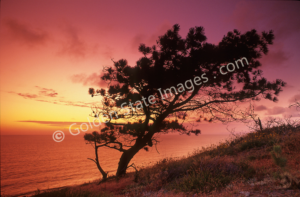 Sunset in Torrey Pines State Park with a famous Torrey Pine in silhouette
