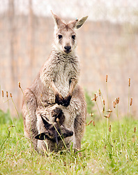 A baby Wallaroo, or Joey, hangs its head and its tail out of its mother's pouch, Tuesday, April 19, 2011 at the Oakland Zoo in Oakland, Calif. This is the first Joey birth at the zoo in more than a decade. Joeys are born after a month-long gestation period, but then spend the next six to eight months growing in the mother's pouch. (D. Ross Cameron/Staff)
