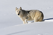 Wapiti Lake Pack, Alpha Female