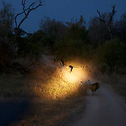 African Lion pride walking late evening under spotlights. Londolozi Private Game Reserve. South Africa.