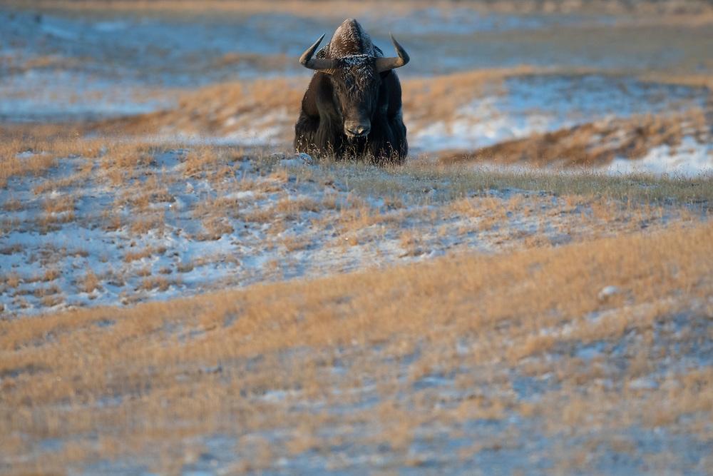 Wild Yak, Bos mutus, Keke Xili / Hoh Xil nature reserve, Tibetan Plateau, Qinghai, China
