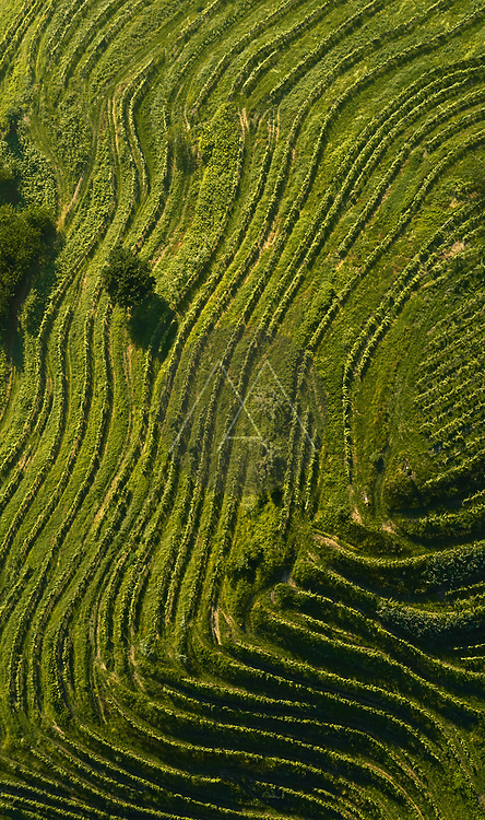 Aerial view of a beautiful terraced vineyard in the Po Valley, Italy.