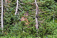 A Black-tailed Deer (Odocileus hemionus columbianus) forages behind a tree in the Paradise area of Mount Rainier National Park, Washington State, USA