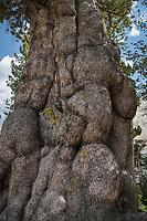 Gnarled old Whitebark Pine (Pinus albicaulis) Sawtooth Mountains Idaho