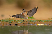 Common Linnet (Carduelis cannabina) near a puddle of water, israel. Photographed in May