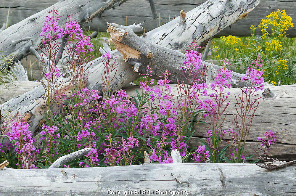 Pink Fireweed grows among fallen timber on the sides of Mt. Washburn in Yellowstone National Park, Wyoming.