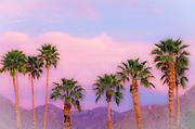 California Fan Palms under San Ysidro Mountain, Anza-Borrego Desert State Park, California