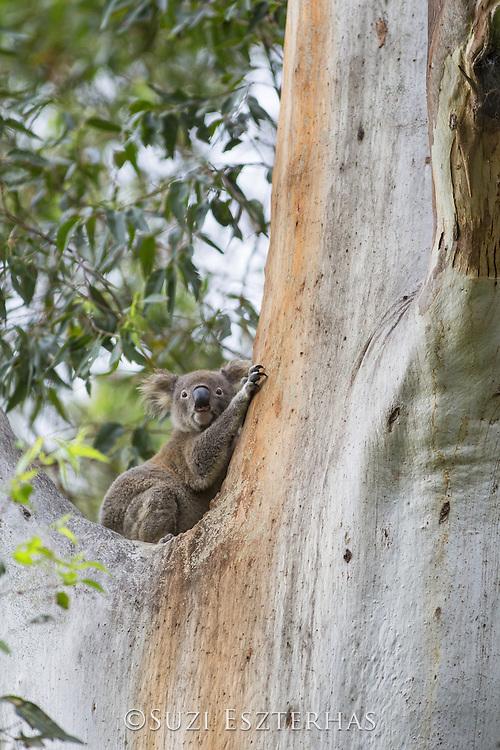 Koala <br /> Phascolarctos cinereus<br /> Large male in eucalyptus tree<br /> New South Wales, Australia